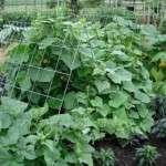 Пасинкування огірків у відкритому ґрунті. Відео