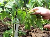 Пасинкування помідор у відкритому ґрунті.Відео: Як пасинкувати томати в теплиці