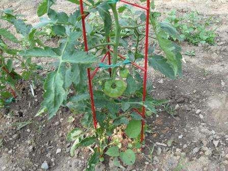 Пасинкування помідорів у відкритому ґрунті на городі