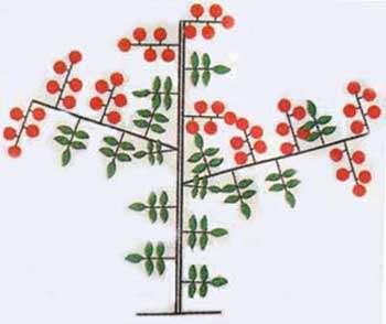 Пасинкування детермінантних сортів помідор