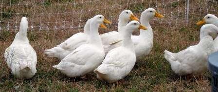 Пекінська порода качок