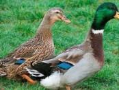 Качки.Породи Качок: М'ясні породи качок,м'ясо-яєчні,яєчні.Фото