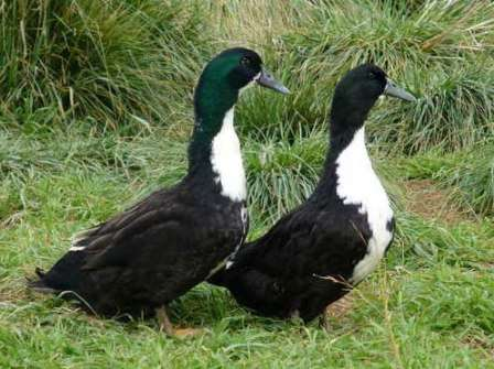М'ясна порода - качка чорна білогруда