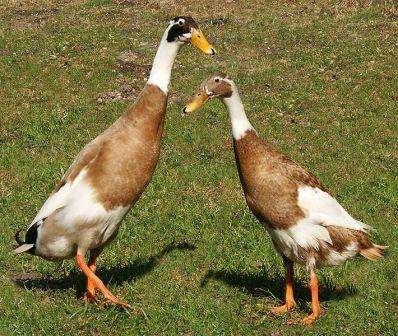 Яєчна порода - Індійські бігуни