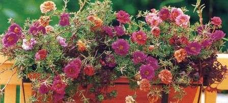 Портулак великоквітковий