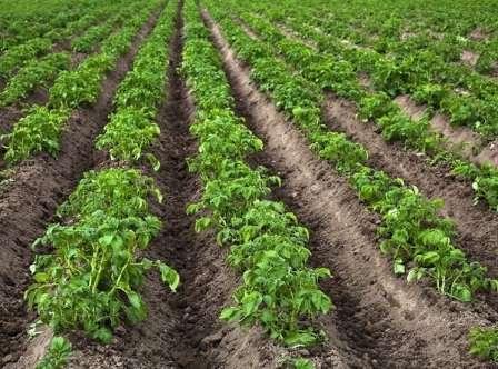 Коли краще садити картоплю в 2017 році