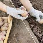 Посівний календар посадки картоплі на 2017 рік