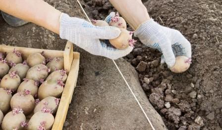 Посівний календар посадки картоплі на 2016 рік в Україні