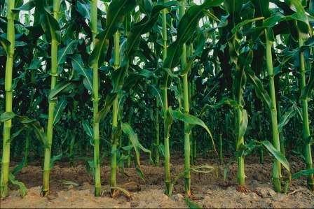 Особливості вирощування кукурудзи: