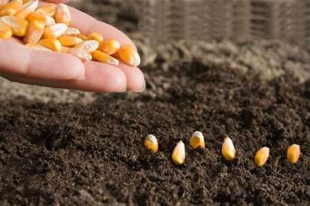 Посів кукурудзи