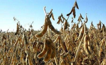 Вирощування зернобобової культури - сої