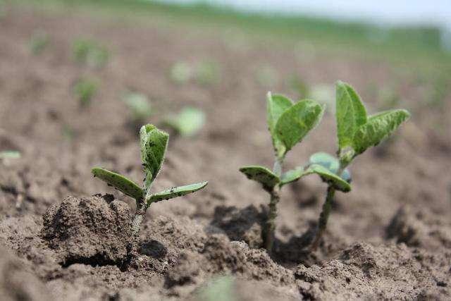 Основні фази вирощування сої включають в себе: