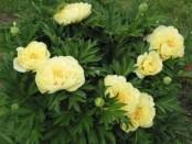Як посадити півонії навесні, куплені в магазині? Фото квітки