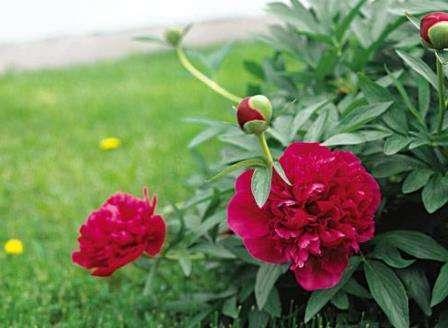 Квітка півонія фото