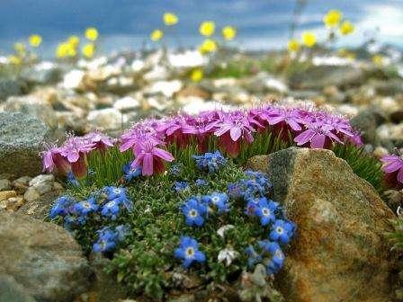Оформлення рослинами альпінарію