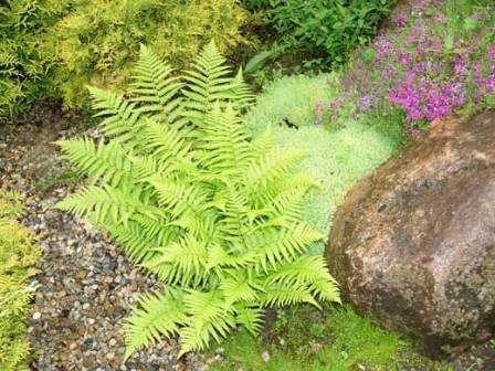 До тіньолюбних рослин належать: