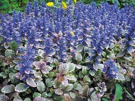 - Барвінок. Ця рослина має блакитну квітку. Листя темно-зелене, блискуче.