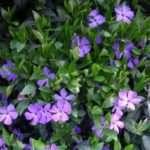 Квітка Барвінок: Опис рослини та особливості її вирощування