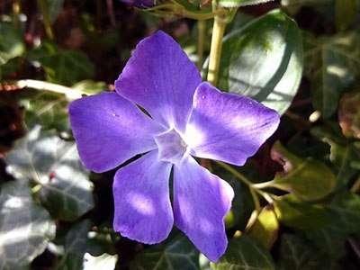Рослина барвінок, фото