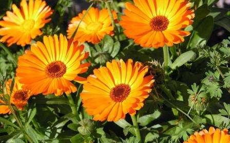 Квітка Календула. Вирощування