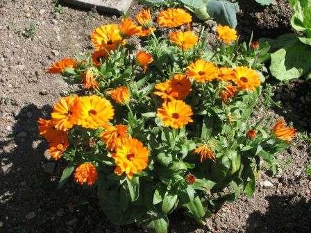 Календула. Вирощування з насіння, коли садити?