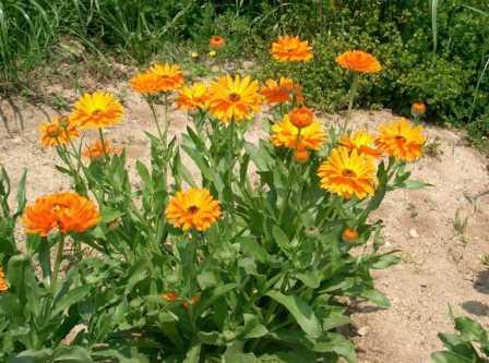 Календула посадка і догляд, поради по вирощуванню