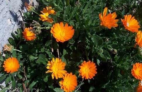 Календула. Вирощування з насіння у відкритому ґрунті
