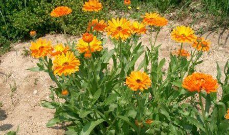 Квітка Календула. Вирощування з насіння у відкритому ґрунті