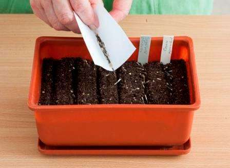 Посів насіння чорнобривців
