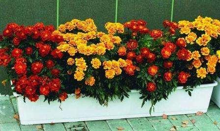 Чорнобривці опис квітки