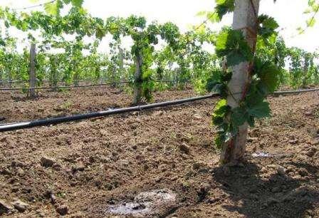полив винограду навесні