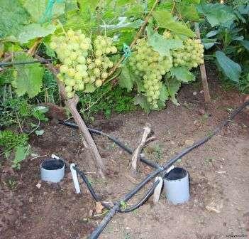Як правилньно поливати виноградник навесні та восени
