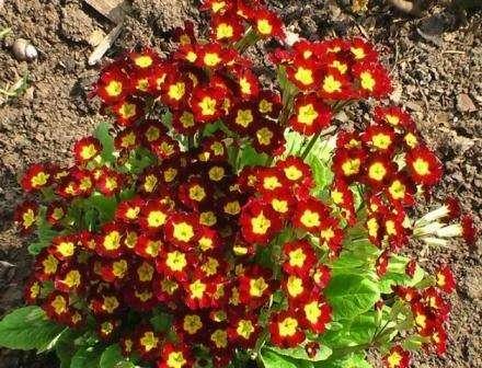 Квітка Примула, фото