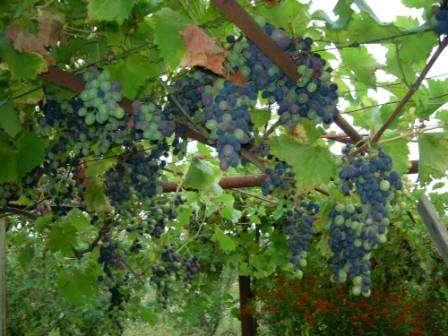 Виноград «Ізабелла» - посадка і догляд, фото