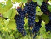 Виноград Ізабелла - посадка і догляд за сортом винограду