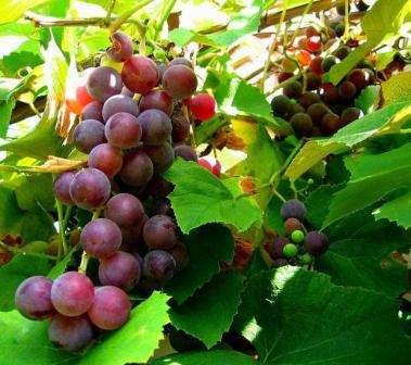 Виноград Ізабелла - опис сорту (фото)