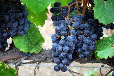 виноград ізабела фото
