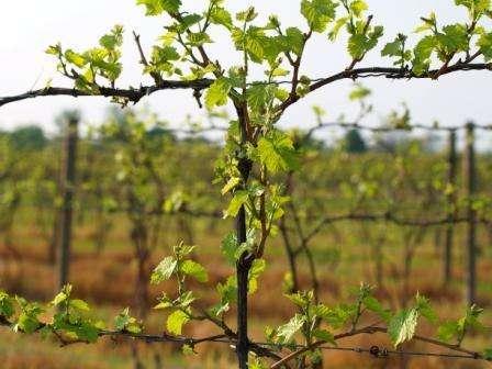 Догляд а виноградом Ізабелла