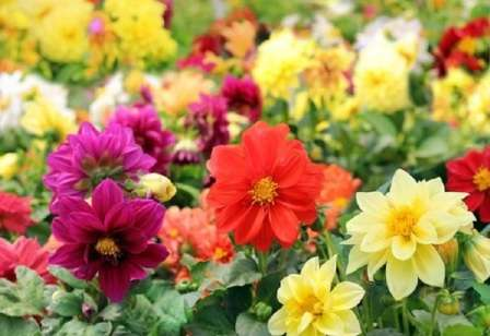 Квіти жоржини однорічні - фото