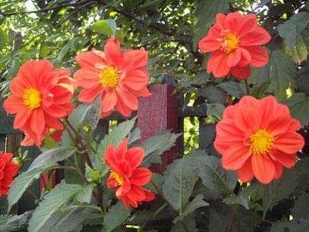 квіти жоржини вирощування