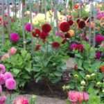 Жоржини — вирощування, посадка навесні і догляд