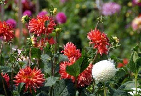 Щоб жоржини пишно цвіли, важливо не допускати пересихання грунту, а також зволожувати навколо них повітря в жаркі дні