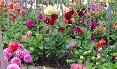 Квіти жоржини - вирощування, посадка навесні і догляд