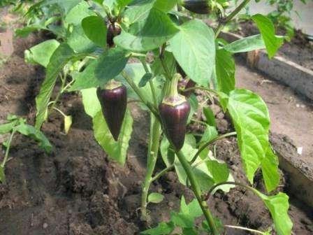 Лікування чорного листя у перцю