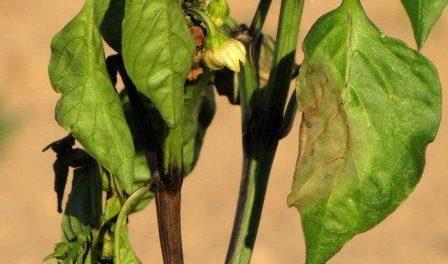 Чому чорніє листя у перцю? Лікування хвороб перця від шкідників