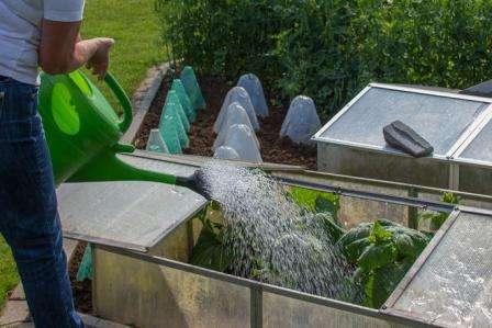 Як поливати огірки в теплиці