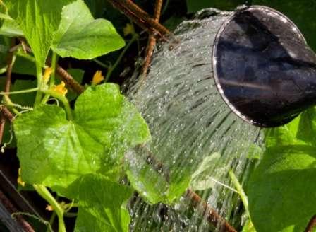 Правильний та рясний полив огірків