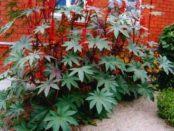 Технологія вирощування рицини з насіння. Рай дерево - фото
