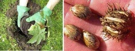 Вирощування рицини з насіння: терміни, особливості, поради