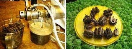 Як вирощувати рицинове дерево в домашніх умовах